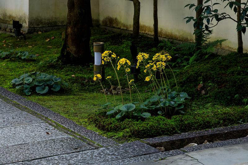 石蕗咲く庭(圓徳院)_f0155048_23201587.jpg
