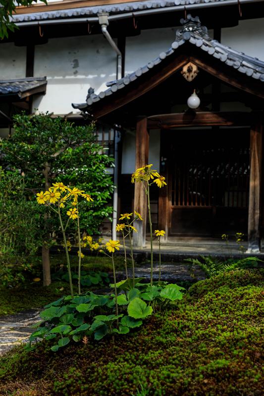 石蕗咲く庭(圓徳院)_f0155048_23203147.jpg
