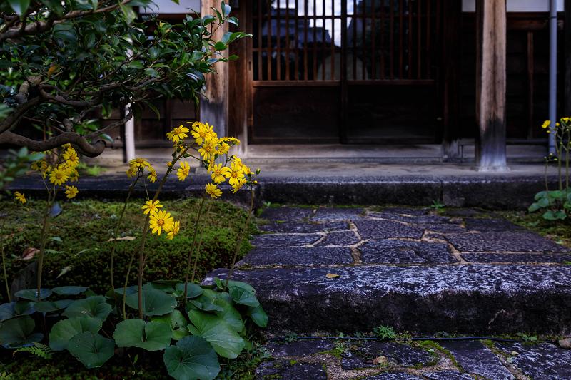 石蕗咲く庭(圓徳院)_f0155048_23203732.jpg