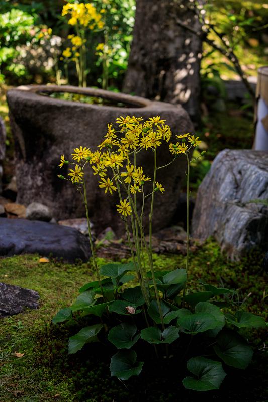 石蕗咲く庭(圓徳院)_f0155048_23205919.jpg