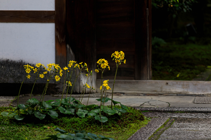 石蕗咲く庭(圓徳院)_f0155048_232082.jpg