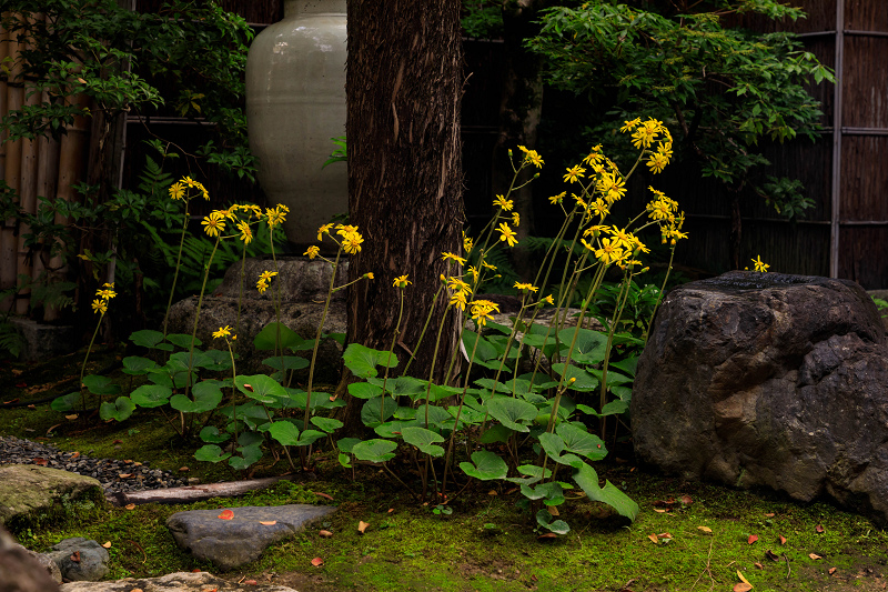 石蕗咲く庭(圓徳院)_f0155048_2322478.jpg