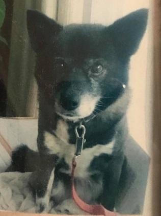人見敏男さんに描いて頂いたお客様の可愛い愛犬達の帯。_f0181251_17260954.jpg