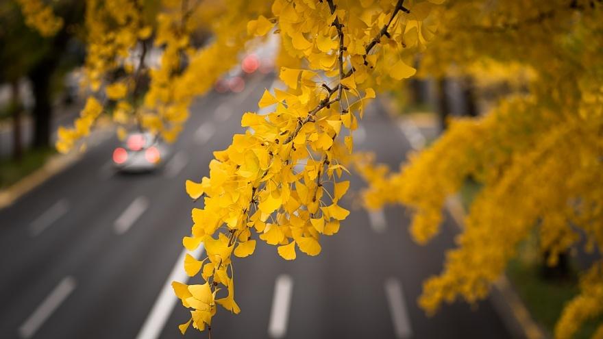 黄色い桜通り_d0353489_22283150.jpg