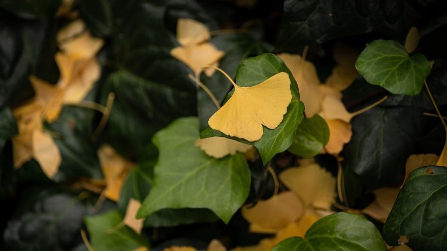 黄色い桜通り_d0353489_22283487.jpg