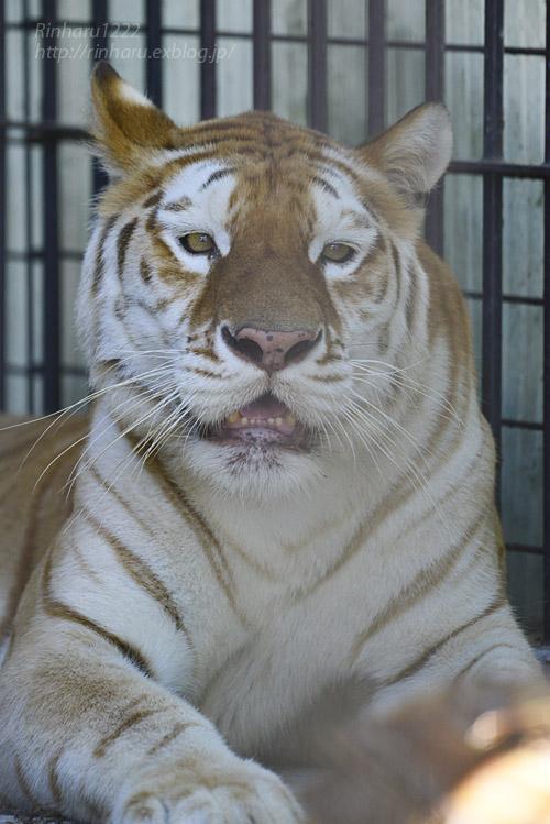 2019.8.13 東北サファリパーク☆ゴールデンタビータイガーのステラちゃん【Tiger】_f0250322_15492996.jpg