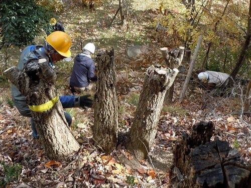 持続可能なクヌギ林の再生を願いつつ台場クヌギを伐採する_b0102572_13235360.jpg