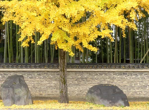 龍翔寺とくすのき落葉_e0048413_16182111.jpg