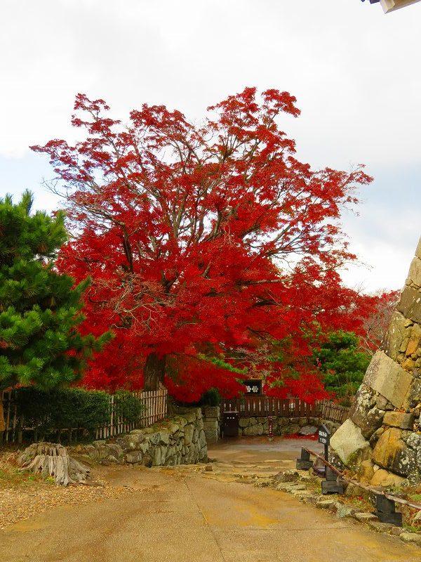 彦根城の紅葉20191203_e0237645_23121425.jpg