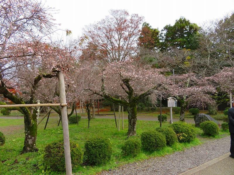 彦根城公園の桜『二季咲桜』20191203_e0237645_23230471.jpg