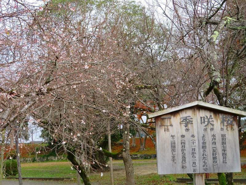 彦根城公園の桜『二季咲桜』20191203_e0237645_23230728.jpg