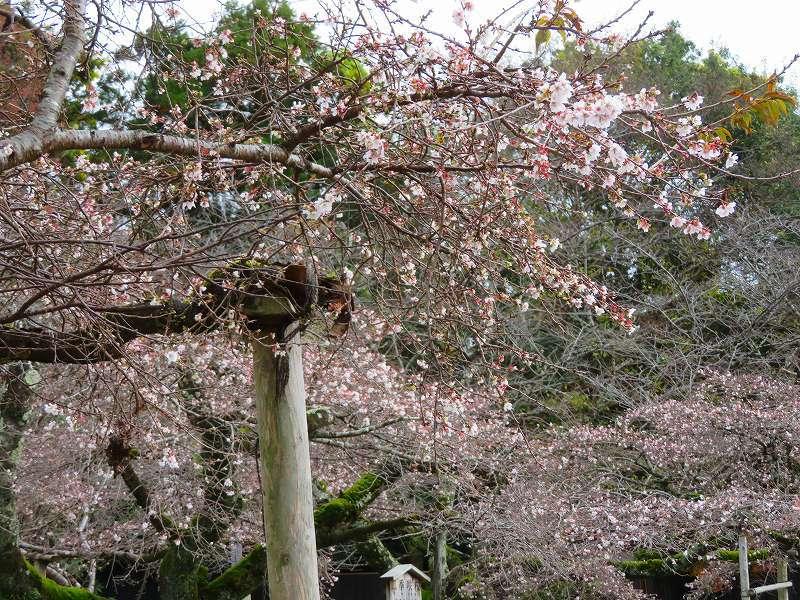 彦根城公園の桜『二季咲桜』20191203_e0237645_23231092.jpg