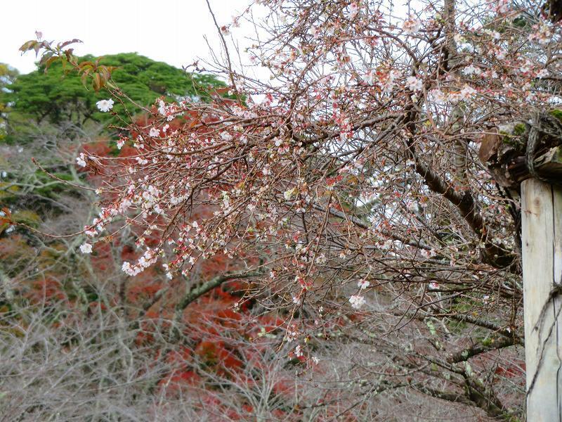 彦根城公園の桜『二季咲桜』20191203_e0237645_23231388.jpg