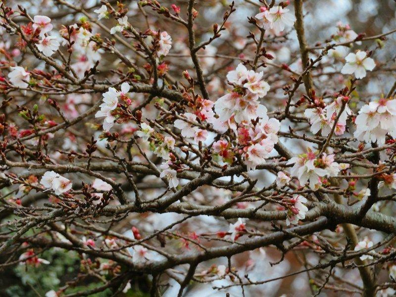 彦根城公園の桜『二季咲桜』20191203_e0237645_23231635.jpg