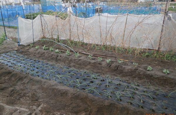 晩生玉葱の植え付けと傷んだ苗の再生_f0018078_17073035.jpg