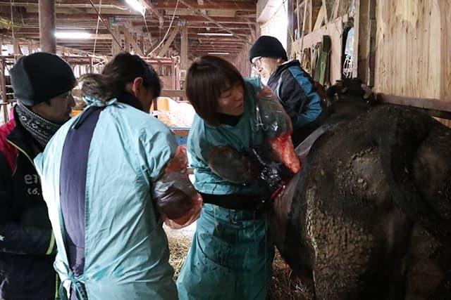 牛の帝王切開手術その2_c0126281_11394449.jpg