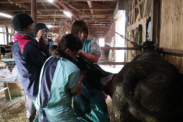 牛の帝王切開手術その2_c0126281_11394997.jpg