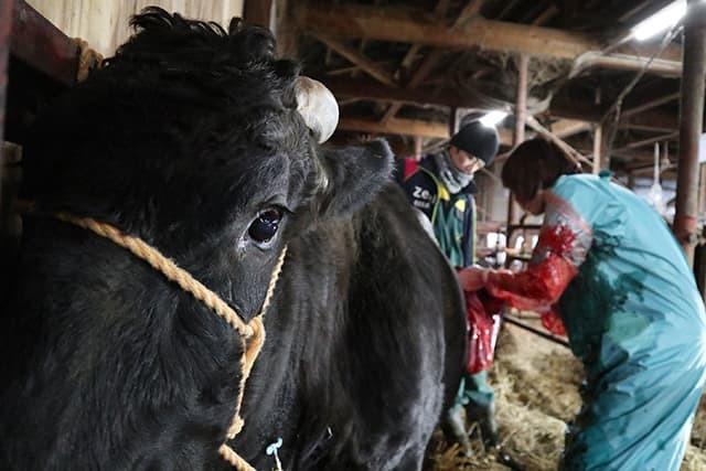 牛の帝王切開手術その2_c0126281_11400242.jpg