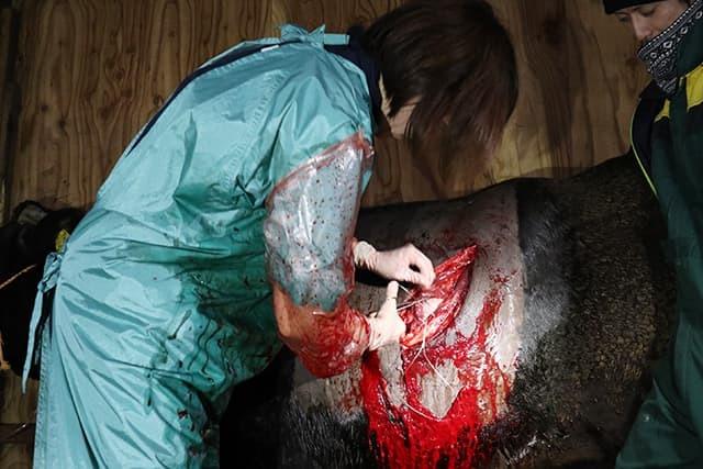 牛の帝王切開手術その2_c0126281_11401770.jpg