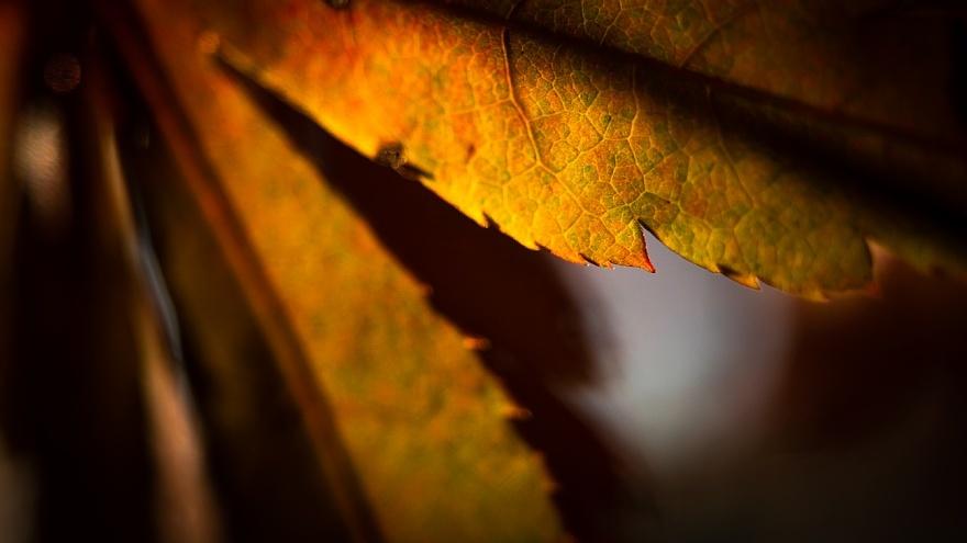 ひそやかに色づくカエデ_d0353489_20484236.jpg