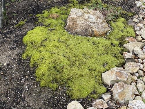 庭の美しく緑々した苔_e0054299_14483970.jpeg