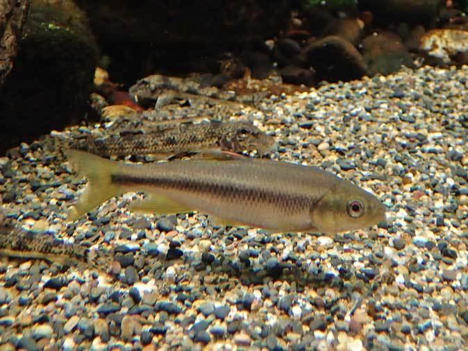 水生物館だより~中流域の魚たち(井の頭自然文化園)_b0355317_21462768.jpg