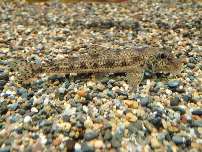 水生物館だより~中流域の魚たち(井の頭自然文化園)_b0355317_21470078.jpg