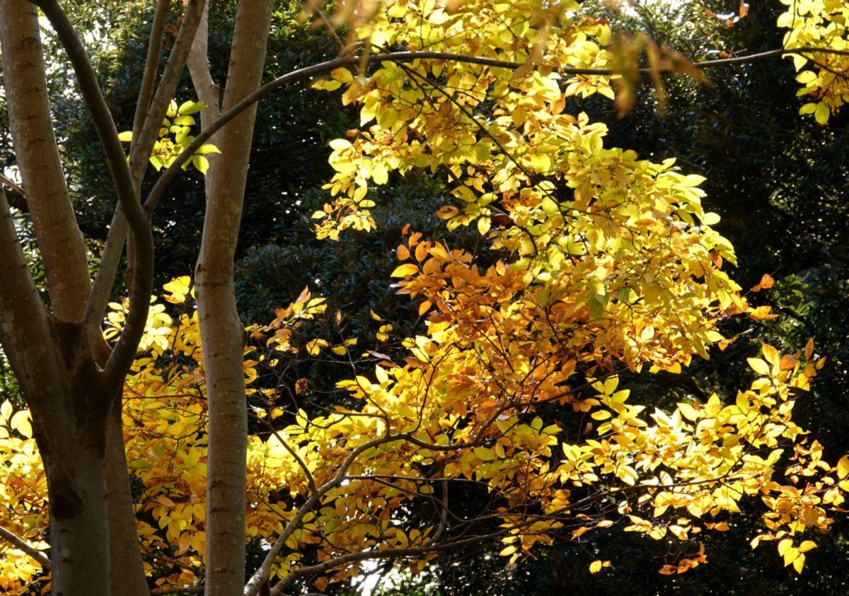 すきとほるやうに黄金いろの秋の日_c0104227_21355328.jpg