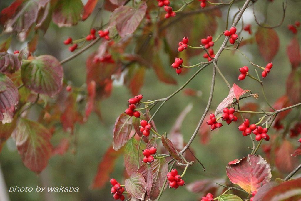 散歩道見つけた赤い実のなる木(^^♪_e0052135_18050094.jpg