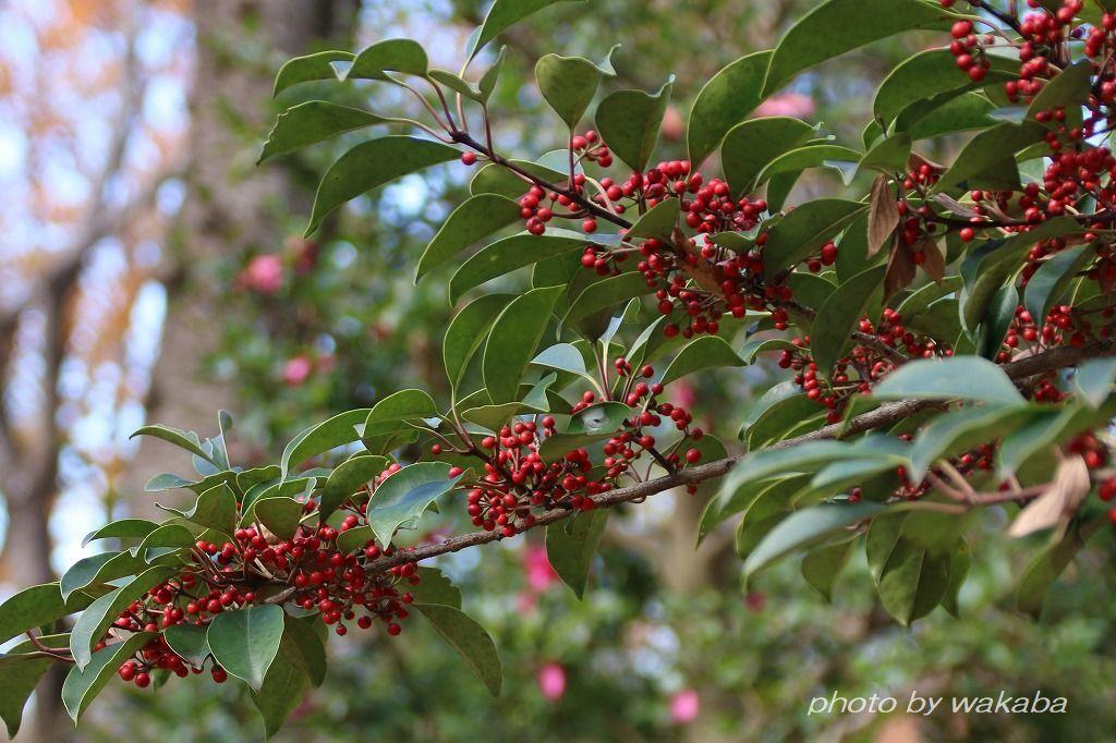 散歩道見つけた赤い実のなる木(^^♪_e0052135_18050359.jpg