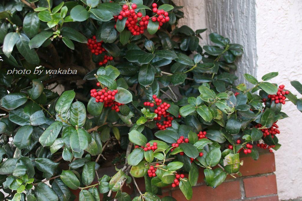 散歩道見つけた赤い実のなる木(^^♪_e0052135_18050878.jpg