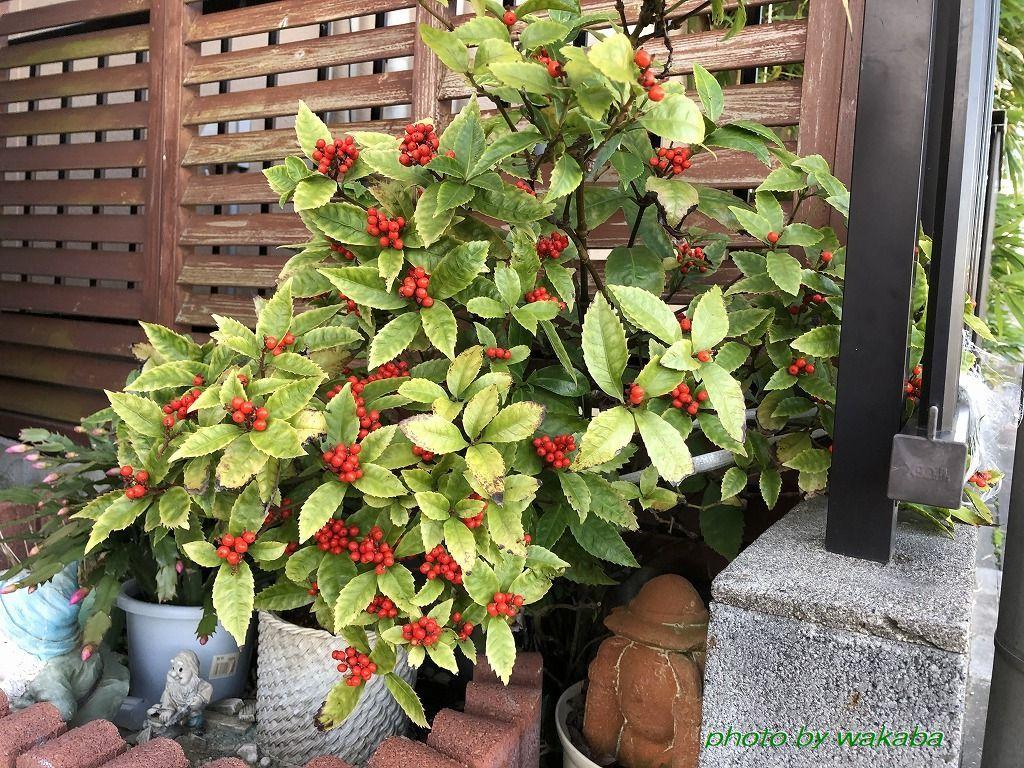 散歩道見つけた赤い実のなる木(^^♪_e0052135_18053077.jpg