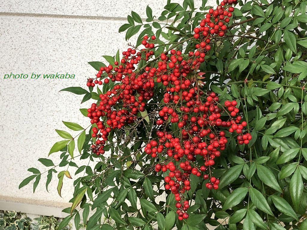 散歩道見つけた赤い実のなる木(^^♪_e0052135_18053437.jpg