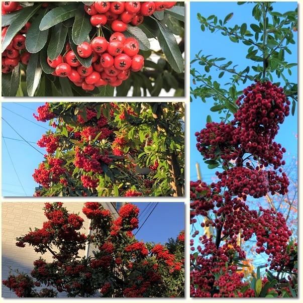散歩道見つけた赤い実のなる木(^^♪_e0052135_18053933.jpg