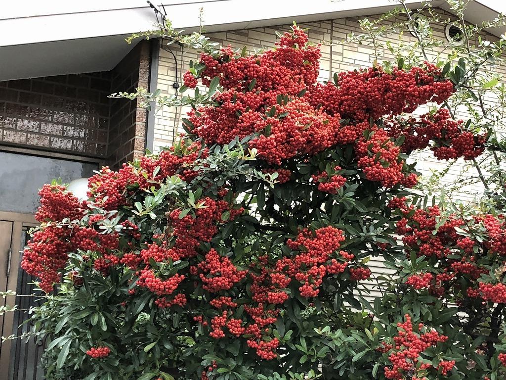 散歩道見つけた赤い実のなる木(^^♪_e0052135_18054172.jpg