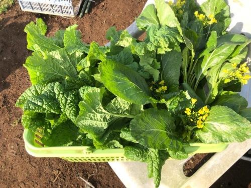 順調に野菜達は上がっています 人参 アスパラ菜 菜の花が美味しいです_c0222448_11263963.jpg