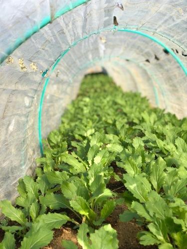 順調に野菜達は上がっています 人参 アスパラ菜 菜の花が美味しいです_c0222448_11280219.jpg