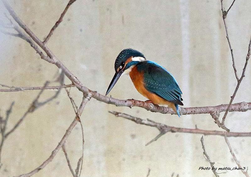 カワセミ Kingfisher_c0070654_08430455.jpg