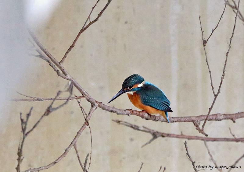 カワセミ Kingfisher_c0070654_08432883.jpg