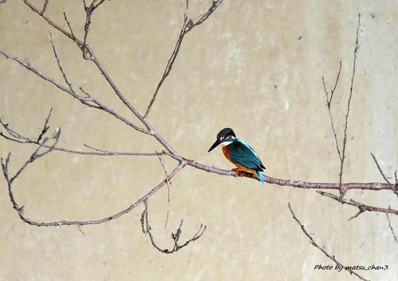 カワセミ Kingfisher_c0070654_08435050.jpg