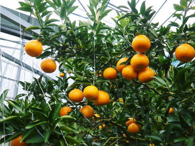 究極の柑橘『せとか』は今年も順調に色づき美味しそうです!ただし収穫及び出荷は2月上旬より!_a0254656_16523667.jpg