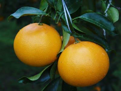 究極の柑橘『せとか』は今年も順調に色づき美味しそうです!ただし収穫及び出荷は2月上旬より!_a0254656_16533312.jpg