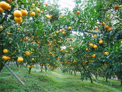 究極の柑橘『せとか』は今年も順調に色づき美味しそうです!ただし収穫及び出荷は2月上旬より!_a0254656_16561289.jpg