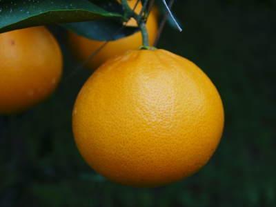究極の柑橘『せとか』は今年も順調に色づき美味しそうです!ただし収穫及び出荷は2月上旬より!_a0254656_17153220.jpg