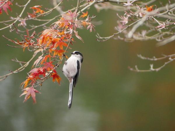 晩秋の野鳥たち_a0351368_23465930.jpg