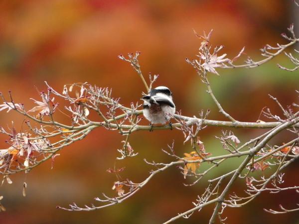 晩秋の野鳥たち_a0351368_23471116.jpg
