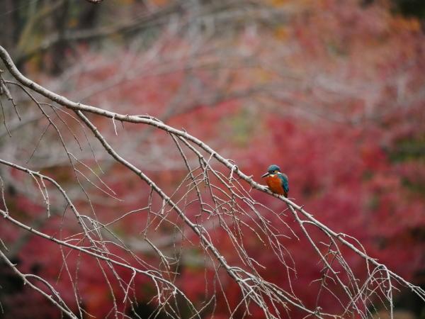 晩秋の野鳥たち_a0351368_23485019.jpg
