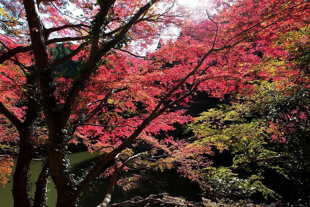 毛呂山町 モミジの鎌北湖 その1_e0165983_10260650.jpg