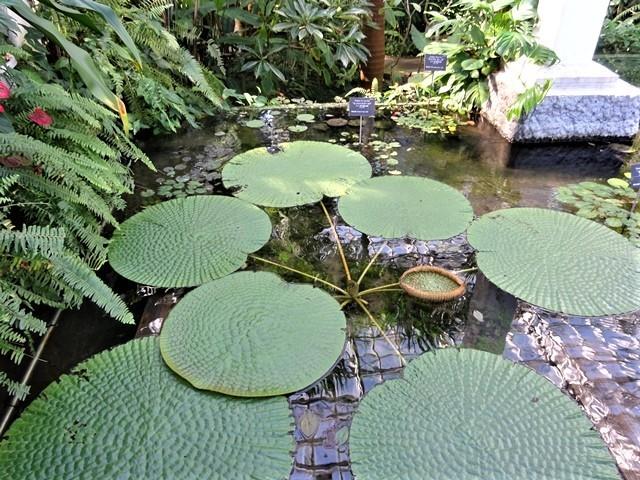 高知県立牧野植物園に魅せられて牧野富太郎博士の業績にビックリ、素晴らしい植物園には沢山の花々が、ノジギクの命名者は牧野富太郎先生がその人_d0181492_20461923.jpg