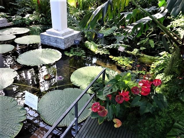 高知県立牧野植物園に魅せられて牧野富太郎博士の業績にビックリ、素晴らしい植物園には沢山の花々が、ノジギクの命名者は牧野富太郎先生がその人_d0181492_20463103.jpg